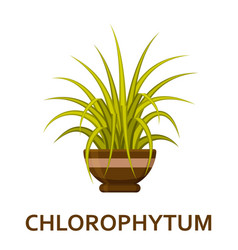 chlorophytum decorative houseplant in pot vector image