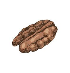 hand drawn pecan nut vector image