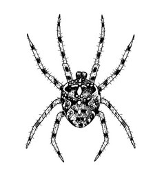 spider hand-drawn with ink vector image