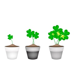 Fresh water clover plant in ceramic flower pots vector