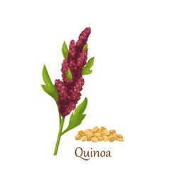 Quinoa grass cereal crops vector