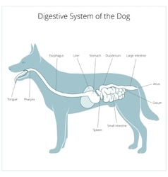 Digestive system of the dog vector image