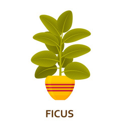 Ficus decorative houseplant in pot florist vector