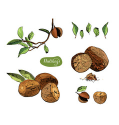 Hand drawn sketch set of nutmegs spice and vector