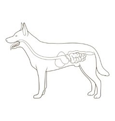 Digestive system of the dog vector
