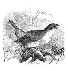 Shrike vintage engraving vector image