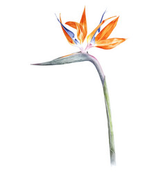 Bird of paradise - strelitzia - flower watercolor vector