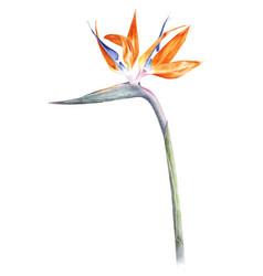 bird paradise - strelitzia - flower watercolor vector image