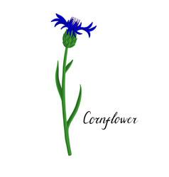 plant cornflower vector image