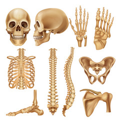 Human bones realistic skeleton elements for vector
