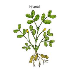 Peanut or groundnut arachis hypogaea vector