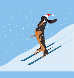 Dachshund descends the hillside on skis vector