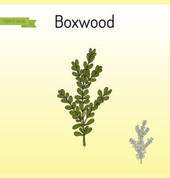 boxwood buxus sempervirens or european box vector image