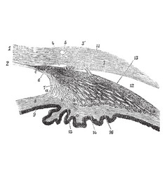 ciliary processes of the eye vintage vector image