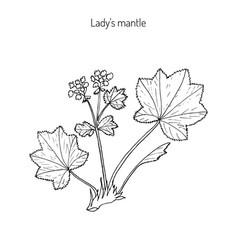 alchemilla vulgaris common lady mantle vector image