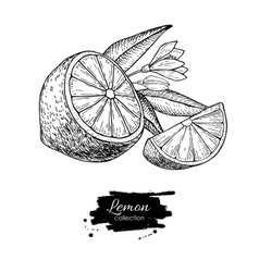 Hand drawn lemon or lime fruit with flower vector