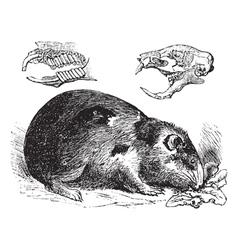 Guinea pig vintage engraving vector image vector image