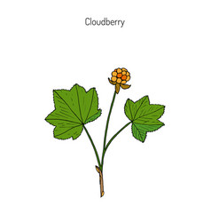 Cloudberry wild berries collection vector
