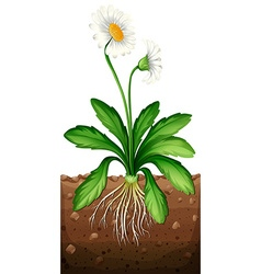 White daisy planting under the ground vector