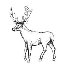 deer engraving style vintage hand vector image