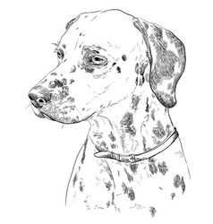 Hand drawing portrait of dalmatian vector