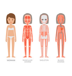 Woman muscular skeleton and blood systems struct vector