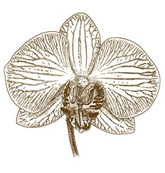 engraving orchid flower vector image vector image