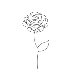 rose flower on white vector image