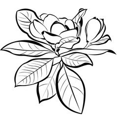 magnolia floral botanical flowers vector image