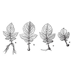 Potato root stages vintage vector