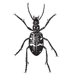 Wood tiger beetle vintage vector