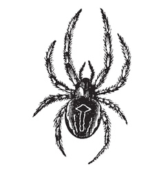 Spider vintage engraving vector image