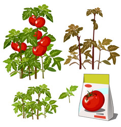 set stages life a agricultural plant red vector image