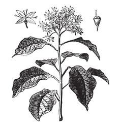 Pagoda Dogwood vintage engraving vector image