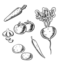 Carrot tomato beet potato pepper and garlic vector