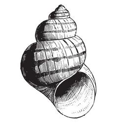 Pond snail vintage vector