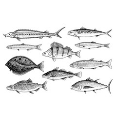river and lake fish salmon and rainbow trout vector image