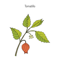 tomatillo physalis philadelphica vector image