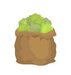 Cabbage burlap bag sack of vegetables big crop on vector