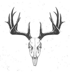 Deer skull on white vector