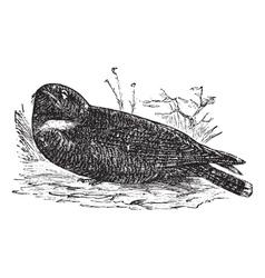 Spotted Nightjar vintage engraving vector image