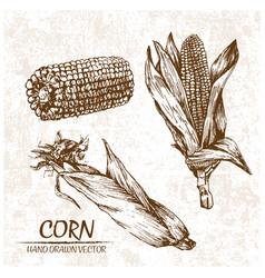 digital detailed corn hand drawn vector image
