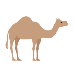 Camel isolated on white even toed ungulate vector