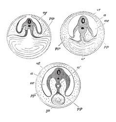 Development of the yolk sac vintage vector