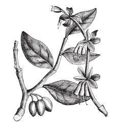 Eastern Leatherwood vintage vector image