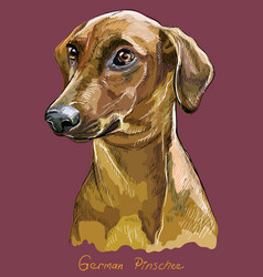 German pinscher colorful hand drawing portrait vector