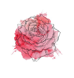 red rose hand drawn vector image