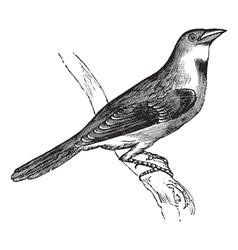 Dickcissel vintage engraving vector image