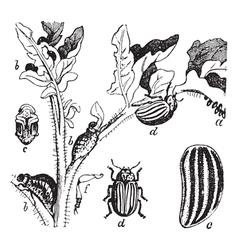 Colorado Potato Beetle engraving vector image