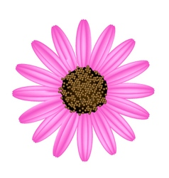 Pink Daisy Flower on A White Background vector